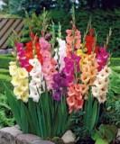 Bunga Gladiol