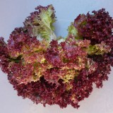 Lettuce Red Rapid-150biji