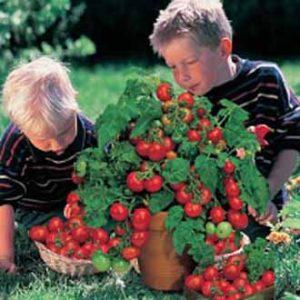 minibel tomato