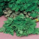 Parsley Giant Of Italy – 20 biji