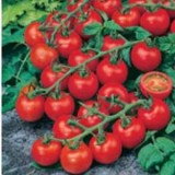 Tomato Red Cherry – 5biji