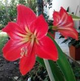 Amaryllis Red Strip White – 1umbi