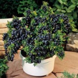 Dwarf Blueberry – 5biji