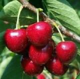 Cherry – 2biji