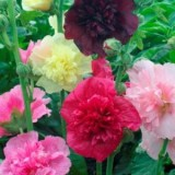 Hollyhock Majorette mixed – 5biji