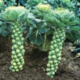 Brussels Sprout Evasham – 20biji