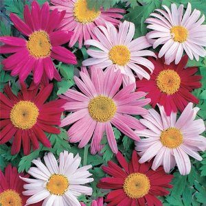 Chrysanthemum Coccineum – 5 biji