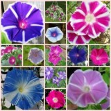 morning Glory Mix – 10 jenis 20biji