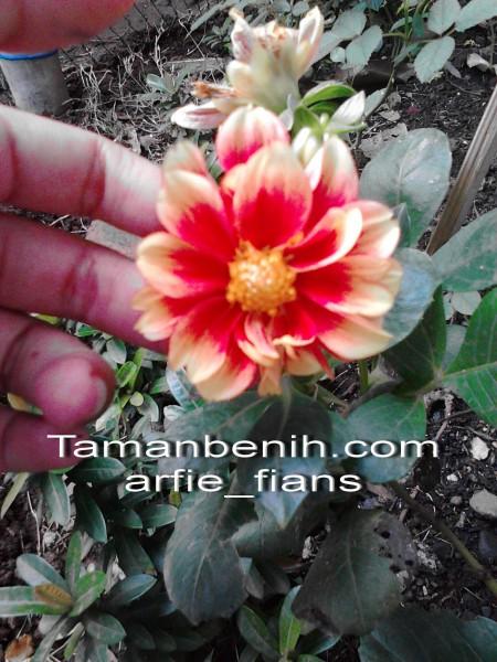dahlia dwarf orange