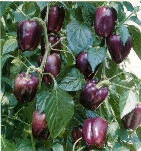 Paprika Ungu Purple Star – 5biji