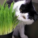 Cat Grass – 40biji