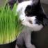 Cat Grass – 40biji