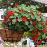 Nasturtium (dwarf) Empress of India – 5biji