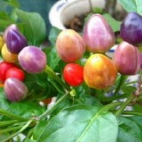 Bolivian Rainbow Pepper -5biji