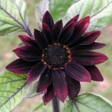 Sunflower Black Magic F1- 5biji