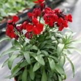 Wallflower Scarlet Bedder – 20biji