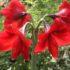 Amaryllis Merah Polos – 1umbi