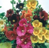 Hollyhock Single Giant -5biji