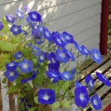 Morning Glory Heavenly Blue -5biji