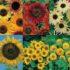Sunflower Mix 6 Jenis – 12biji