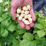 Wild White Strawberry -10biji
