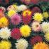 Dahlia Cactus Hybrid Mixed