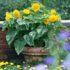 Sunflower Teddy Bear -7biji