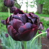 Tulip Black Hero – 1 umbi