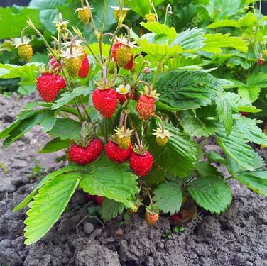 jual benih/ biji Wild strawberry four season. jenis strawberry liar dengan buah berwarna merah dan ukuran kecil, bisa tanam di pot atau tanah langsung