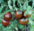 Tomat Black Prince – 5biji