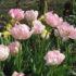 Tulip Angelique – 1 umbi
