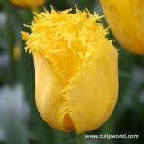 Tulip Crystal Star – 1 umbi