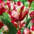 Tulip Estella Rinjveld -1 umbi