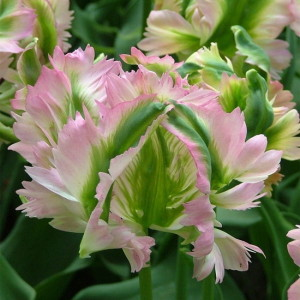 tulip green wave 2