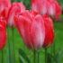 Tulip Darwin Van Eijk – 1 umbi