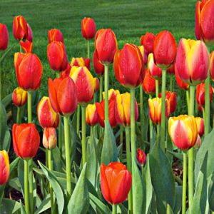 tulip world favorite