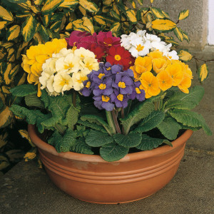 polyanthus large mixed