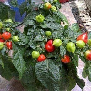 Pepper Habanero Varian – 5biji