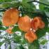 Pepper Orange TSBT – 5biji