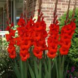 Gladiol Merah – 1umbi