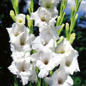 gladiol putih