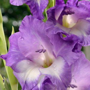 gladiol ungu
