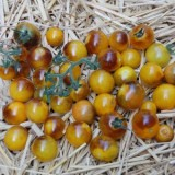 Tomato Goldberries – 5biji