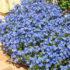 Anagallis Blue Pimpernel -10biji