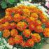french marigold honeycomb-10biji