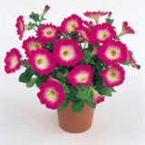 Petunia Merlin Rose Morn F1 -7pelleted