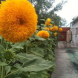 Sunflower Sungold -5biji