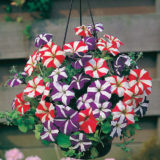 Petunia Star Mixed -30biji