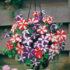 Petunia Star Mix – 50 pelleted