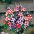 Petunia Star Mixed -30biji